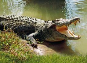 Mơ thấy cá sấu là điềm báo lành hay dữ