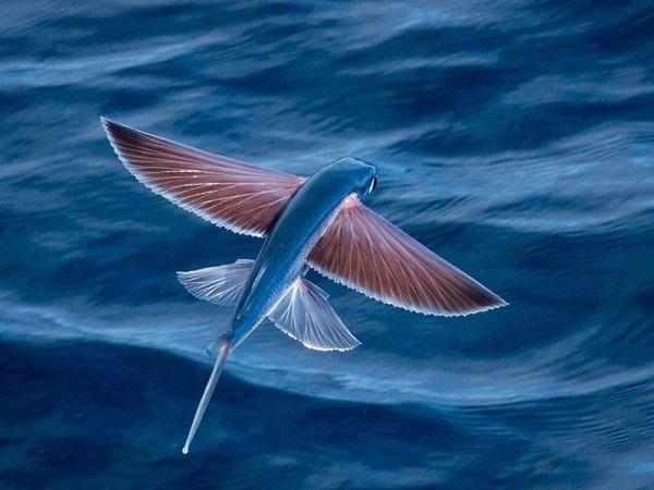 Mơ thấy cá chuồn