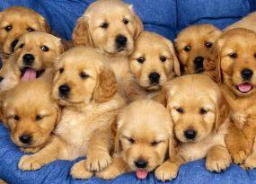 Mơ thấy chó vàng điềm báo gì